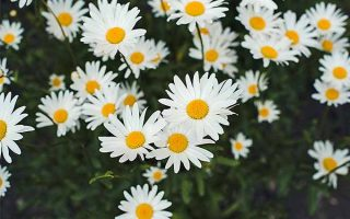 Cozy Up with Chamomile: Growing and Harvesting a Classic