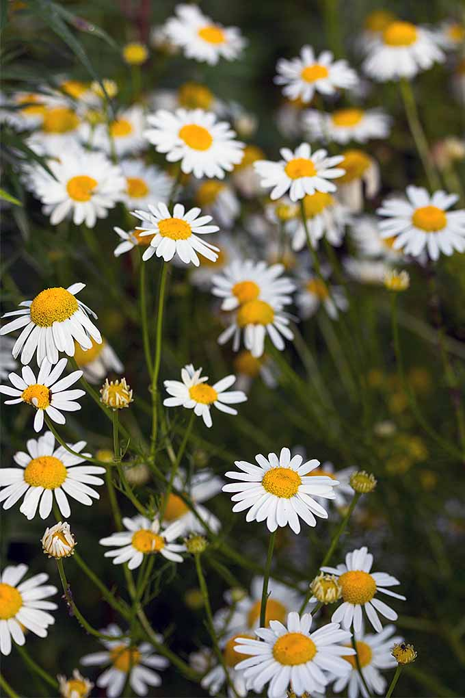 Cozy up with cup of chamomile tea, harvested from your own garden. We'll teach you how! Read more now, or Pin It for later: https://gardenerspath.com/plants/flowers/grow-chamomile/