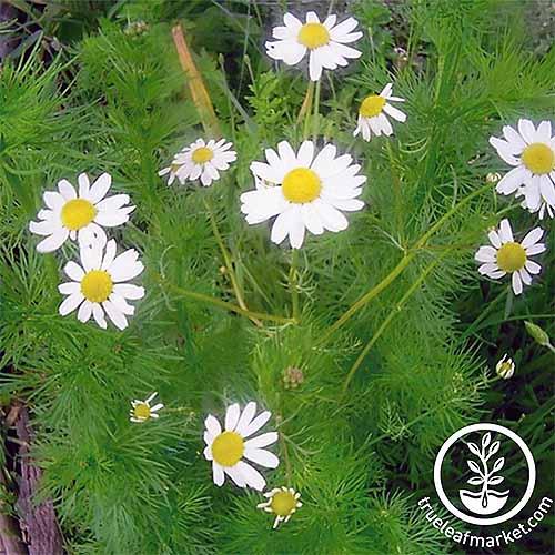 German Chamomile | GardenersPath.com