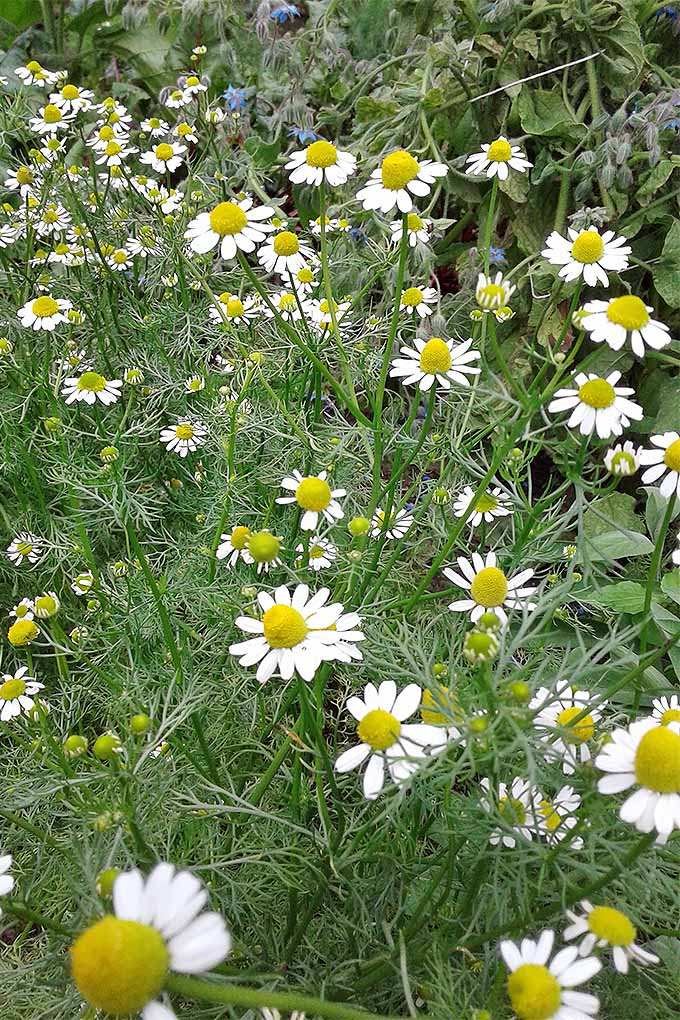 Want to grow your own chamomile? Try our tips: https://gardenerspath.com/plants/flowers/grow-chamomile/