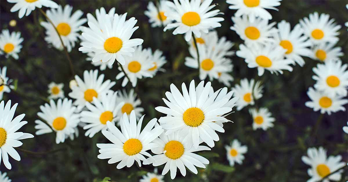 How do you say daisy in german