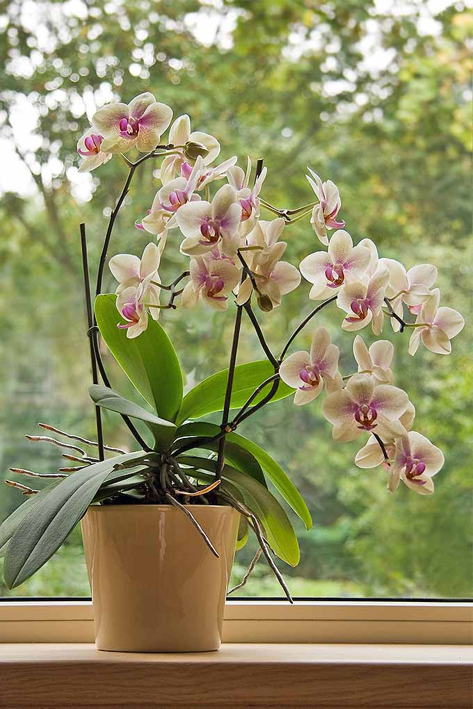So, you're ready to start indoor gardening. Not sure which plants to pick? Yes, moth orchids are on the list! Check out our favorites: https://gardenerspath.com/how-to/indoor-gardening/houseplant-care-primer/