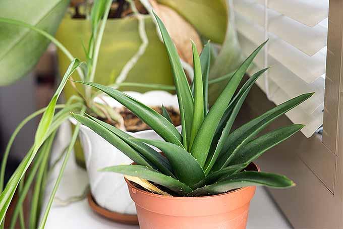 Houesplant Primer: Grow Aloe | GardenersPath.com