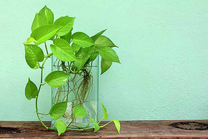 Guide to growing pothos. | GardenersPath.com