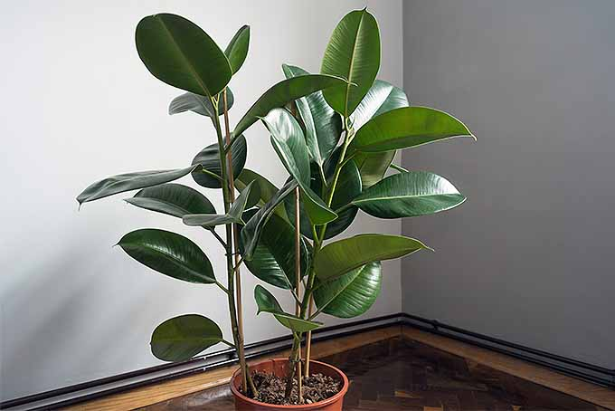 Grow the rubber plant for indoor gardening success. | GardenersPath.com