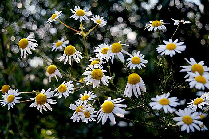 Grow chamomile | GardenersPath.com