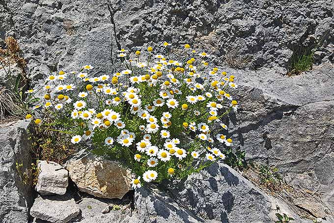 Chamomile growing in a rock garden. | GardenersPath.com