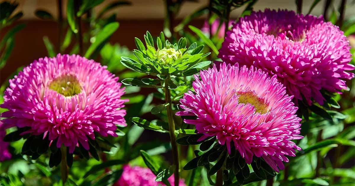 How to grow china aster callistephus chinensis gardeners path mightylinksfo