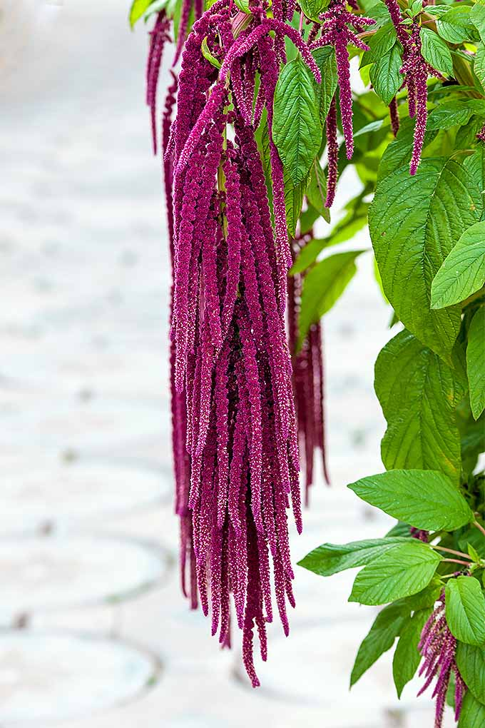 Add a touch of drama to your garden with Love Lies Bleeding, a variety of amaranth. We'll teach you how to grow it in your garden: https://gardenerspath.com/plants/annuals/grow-love-lies-bleeding-amaranthus/