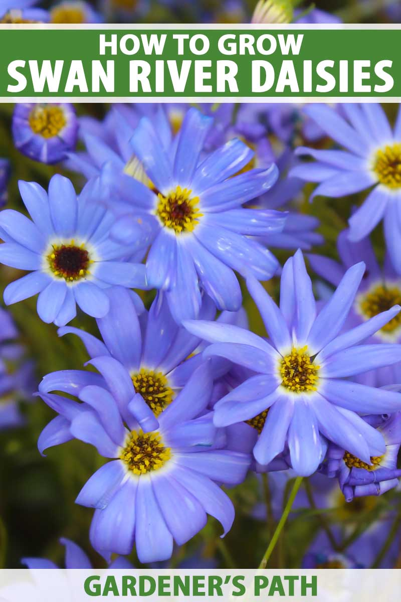 A close-up vertical image of bright blue Brachyscome iberidifolia flowers growing in the summer garden pictured on a soft-focus background.