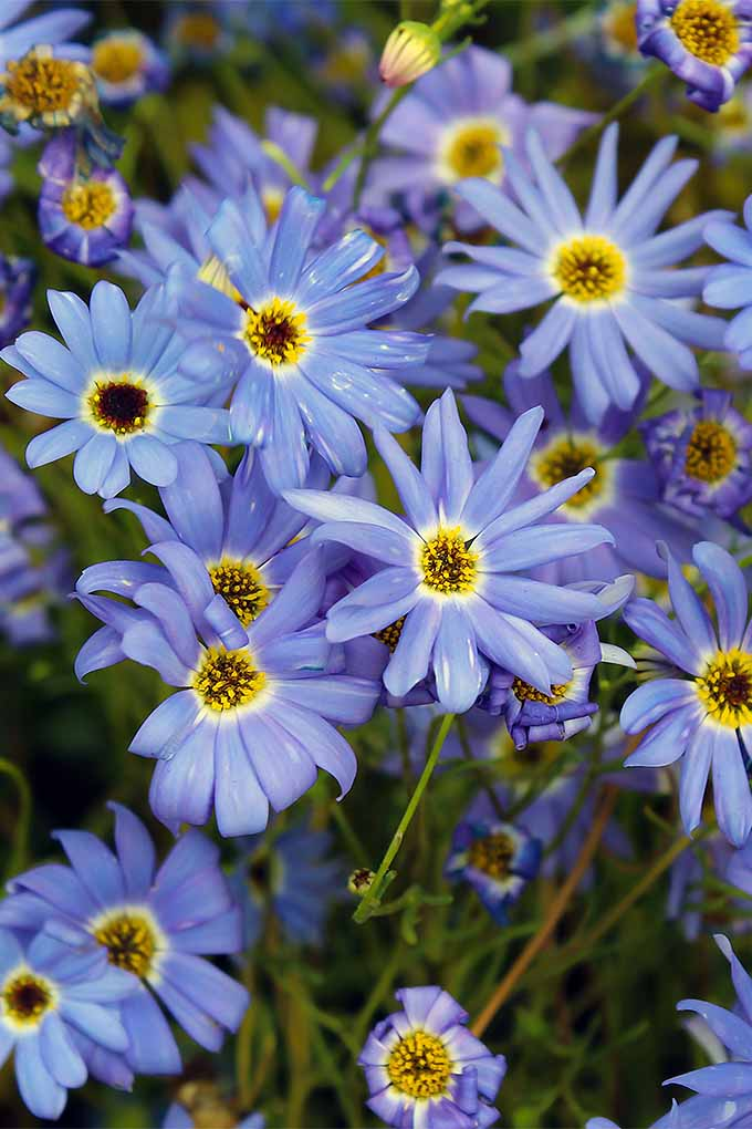 Grow your own swan river daisies at home, with our tips: https://gardenerspath.com/plants/flowers/grow-swan-river-daisy/