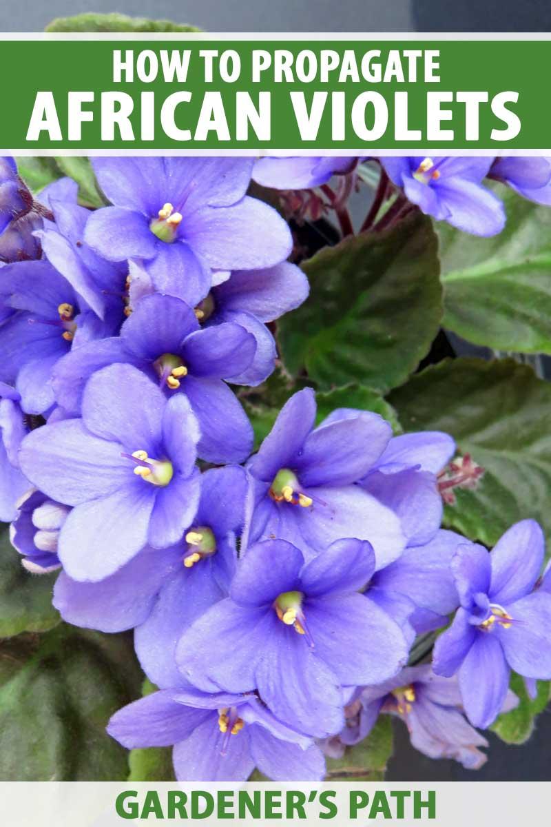 Top down view of blue African violet flowers in bloom.