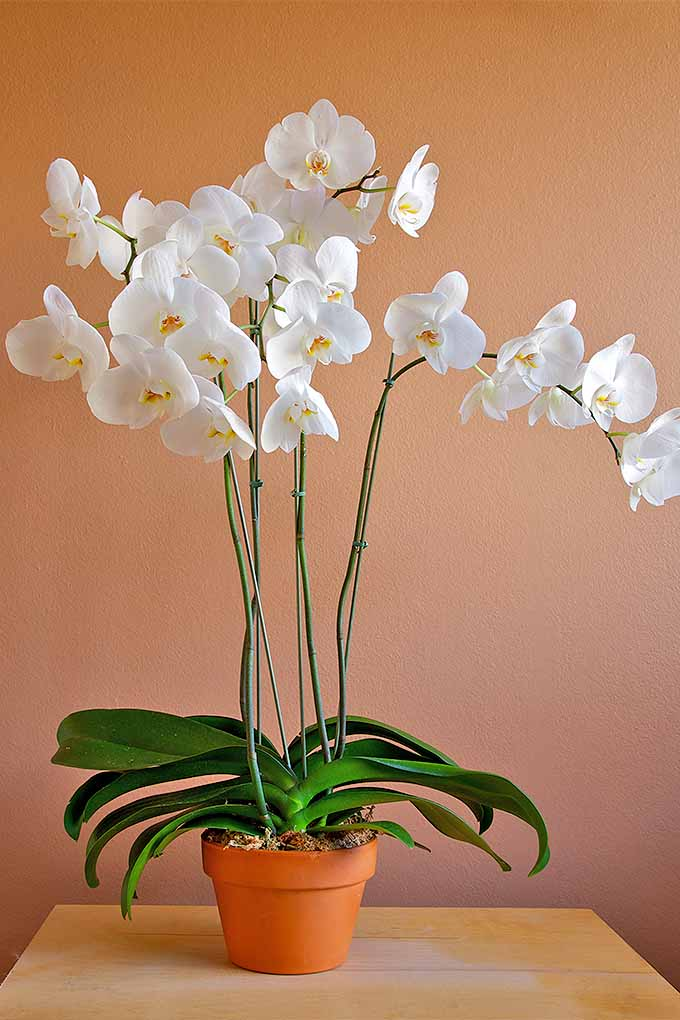 Believe it or not, moth orchids are easy to grow indoors! Check out our list of durable, easy-care houseplants: https://gardenerspath.com/how-to/indoor-gardening/houseplant-care-primer/