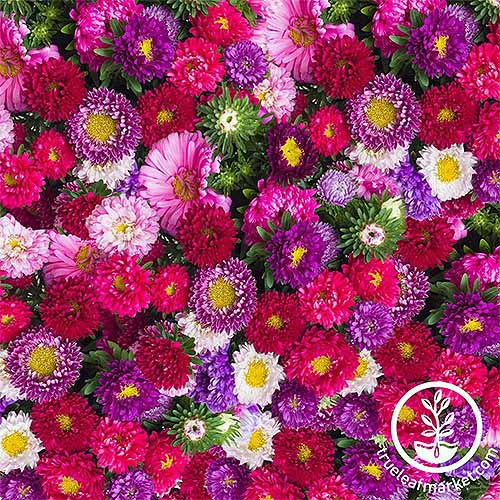 Multicolored China aster flowers | GardenersPath.com