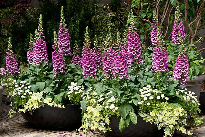 Foxgloves | GardenersPath.com