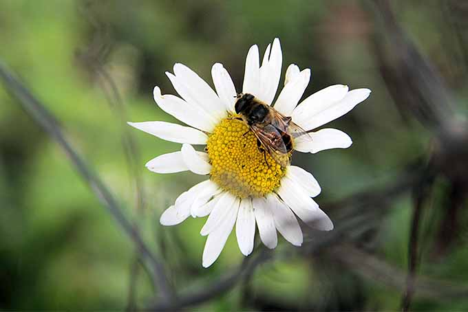 Plant chamomile in your garden to attract bees and other pollinators. | GardenersPath.com