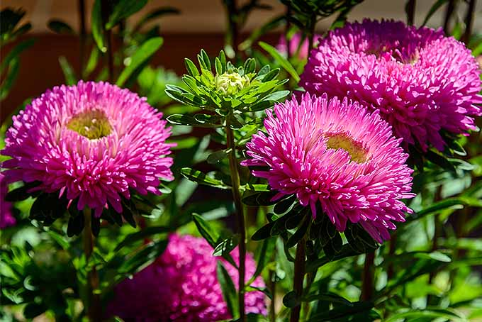 Add color to the garden with China aster | GardenersPath.com
