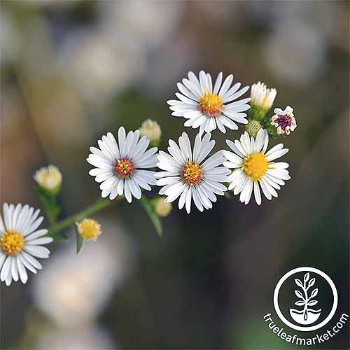Roman Chamomile | GardenersPath.com