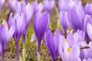 A Sign of Spring and a Taste of Luxury: How to Grow Crocuses