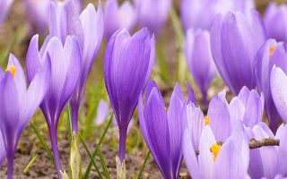 A Sign of Spring and a Taste of Luxury: How to Grow Crocuses | GardenersPath.com