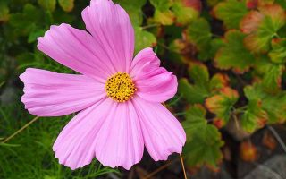 Add Harmony to your Garden with Cosmos