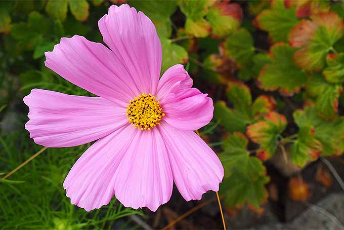 Add Harmony to Your Garden with Cosmos | GardenersPath.com