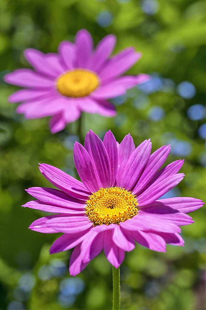 Learn How To Grow Painted Daisy Gardeners Path