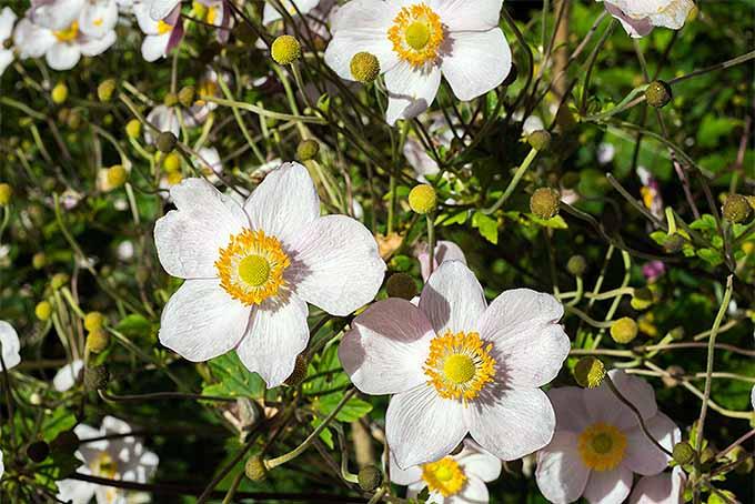 Anemones | GardenersPath.com