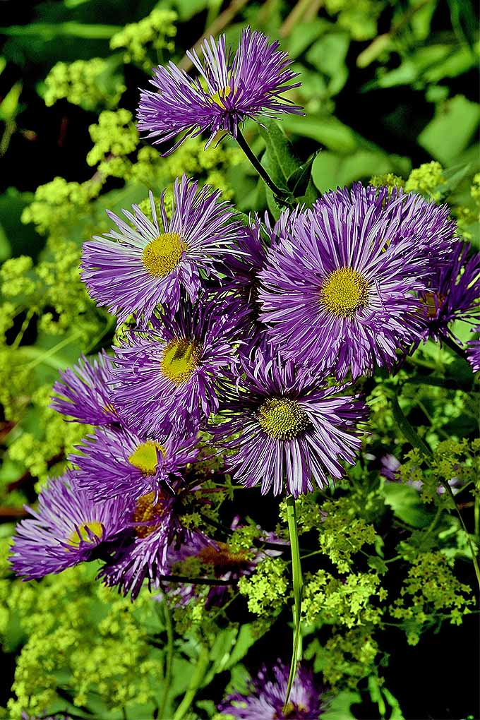 Purple asters provide gorgeous blooms but many novice gardeners haven't a clue as to when to cut them back. We share our knowledge in this handy guide: https://gardenerspath.com/how-to/pruning/fall-spring-perennial-cutbacks/