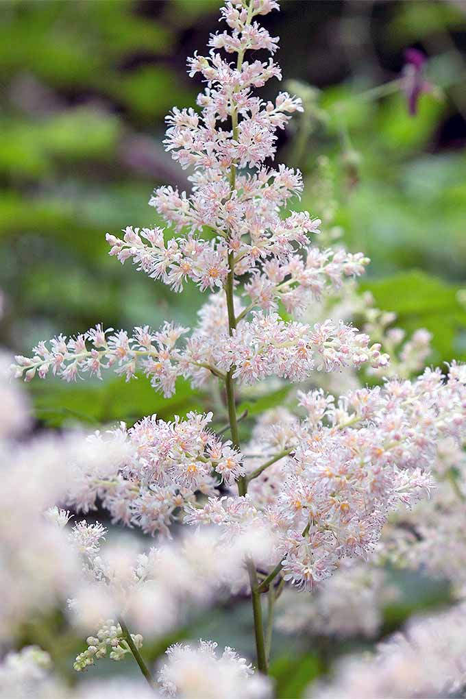 Astilbe is one of many perennials that you may be growing in your garden- but do you know when to cut it back? Check out our guide to perennial pruning now, or Pin It for later: https://gardenerspath.com/how-to/pruning/fall-spring-perennial-cutbacks/