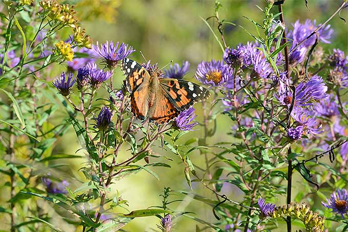 Attract Pollinators with New England Aster | GardenersPath.com