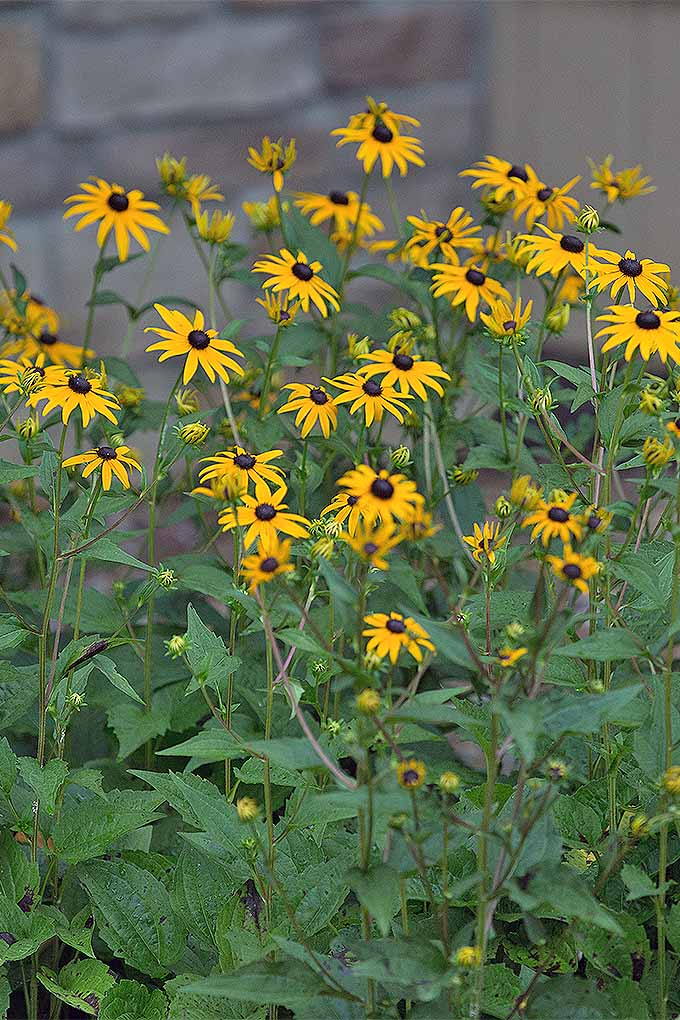 Black eyed susans are a favorite among gardeners, but many are unsure as to when to prune them. Spring or fall? We share the answer to this and more of your perennial cutback questions in our guide: https://gardenerspath.com/how-to/pruning/fall-spring-perennial-cutbacks/