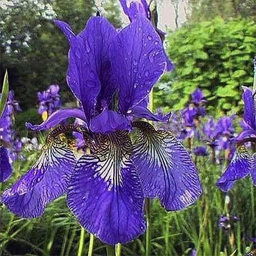 Caesar's Brother Iris | GardenersPath.com