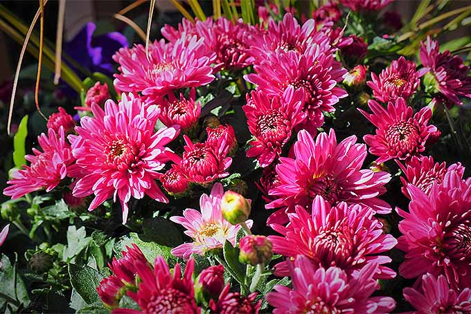 Chrysanthemum Cultivars Come in Many Colors | GardenersPath.com