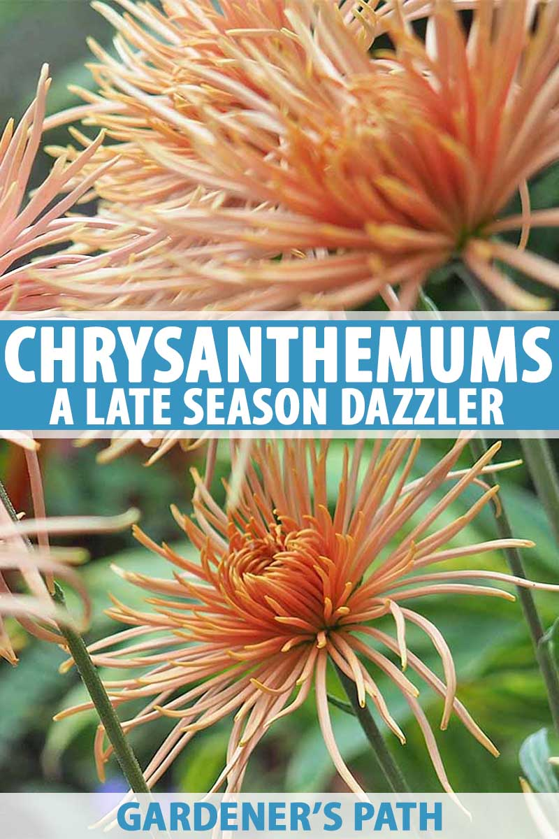 How To Grow Chrysanthemums A Late Season Dazzler Gardener S Path