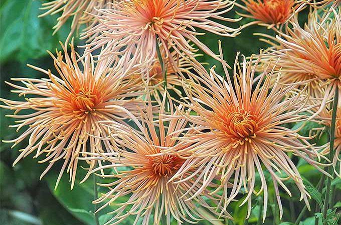 Chrysanthemums are gorgeous late in the season | GardenersPath.com