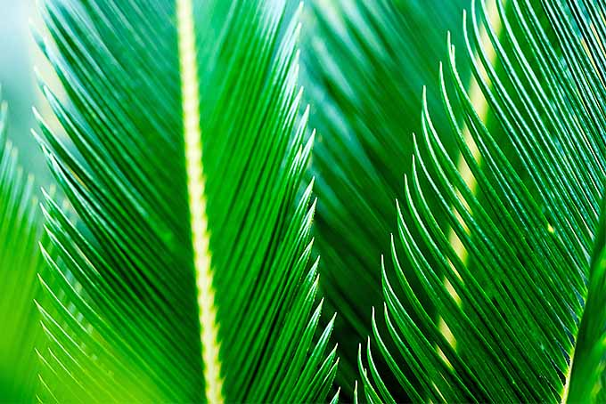 Closesup of Sago Fronds | GardenersPath.com