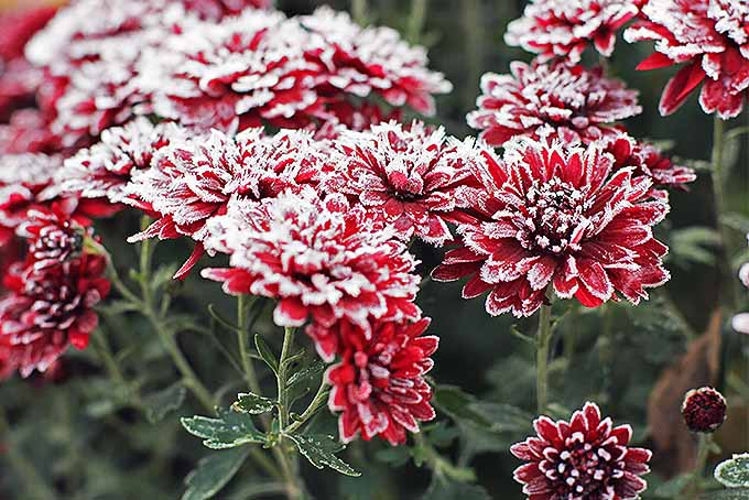 Mums in the snow | GardenersPath.com