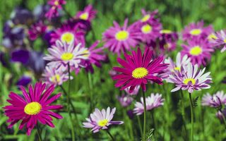 Color Your Garden Brightly with Painted Daisy