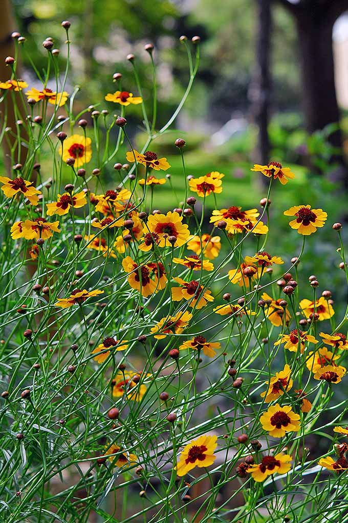 Coreopsis adds a riot of color to the flower beds when it's in bloom. But when should you cut back this perennial favorite? Click to read our guide now: https://gardenerspath.com/how-to/pruning/fall-spring-perennial-cutbacks/
