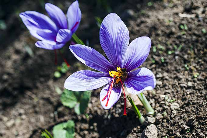 Crocus Blossoms with Saffron | GardenersPath.com