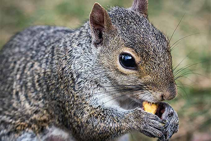 Squirrels love to steal and eat tasty crocus corms | GardenersPath.com