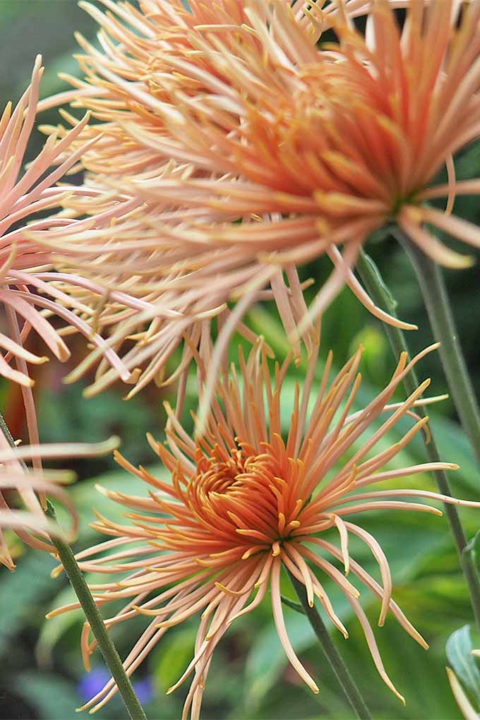 These delicate peach spider chrysanthemums represent just one of the forms that this stunning flower can take. Learn more: https://gardenerspath.com/plants/flowers/grow-chrysanthemums/