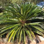 Enjoy Prehistoric Wonder with Sago Palm | GardenersPath.com