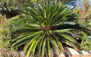 Enjoy Prehistoric Wonder with Sago Palm