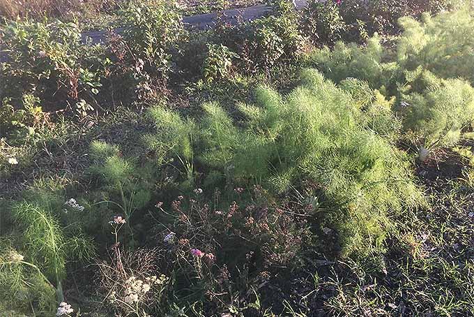 Fennel Pruning | GardenersPath.com