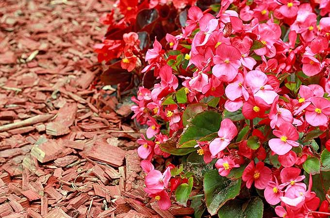 Give an Old Fashioned Beauty New Life: Grow Wax Begonia | GardenersPath.com