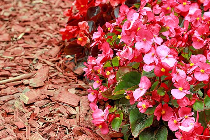 Give an Old Fashioned Beauty New Life: Grow Wax Begonia | GardenersPath.com