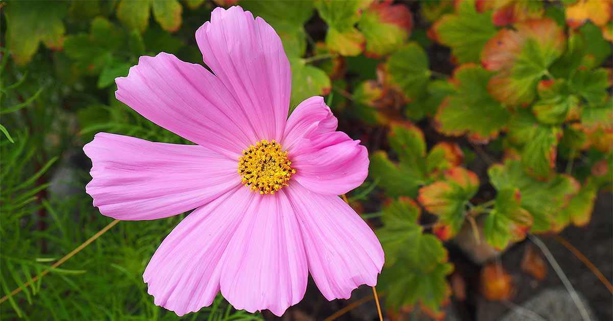 How To Grow And Care For Colorful Cosmos Flowers Gardener S Path