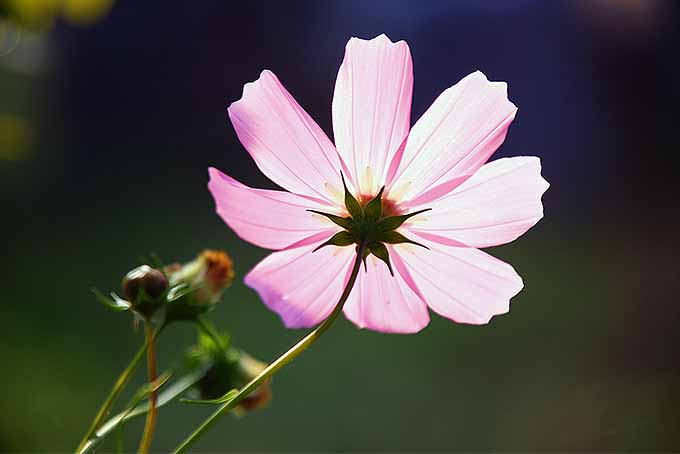 Grow Cosmos with These Tips | GardenersPath.com